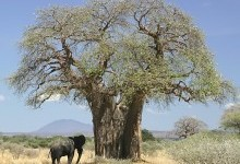 Вище, товще, довше – рослини-рекордсмени світу
