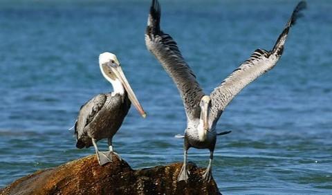 Пеліканові – родина птахів (Pelecanidae)