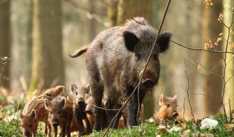 Свиня дика (кабан дикий)