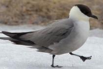 Поморникові – родина птахів (Stercorariidae)