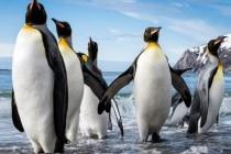 Пінгвінові – родина птахів (Spheniscidae)