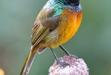 Нектаркові – родина птахів (Nectariniidae)