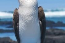 Олушеві, або сулові – родина птахів (Sulidae)