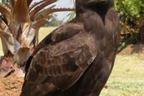 Орел гребінчастий (Lophaetus occipitalis)
