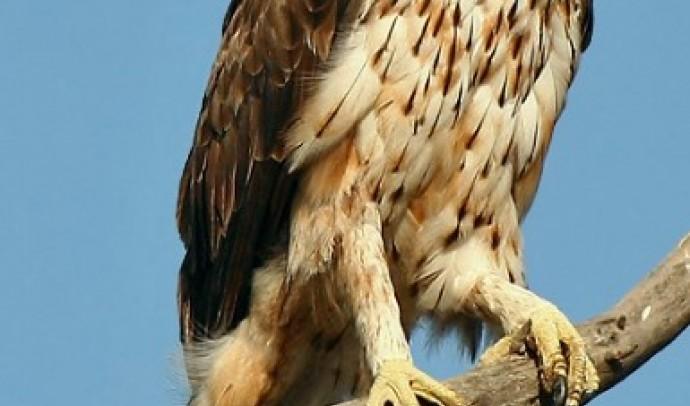 Орел яструбиний (Aquila fasciata)