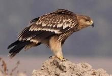 Орел-могильник (Aquila heliaca)