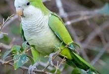 Папуга-чернець, або каліта (Myiopsitta monachus)