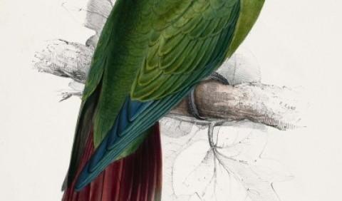 Папуга довгодзьобий червонохвіст (Enicognathus leptorhynchus)