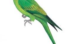 Папуга каролінський (Conuropsis carolinensis)
