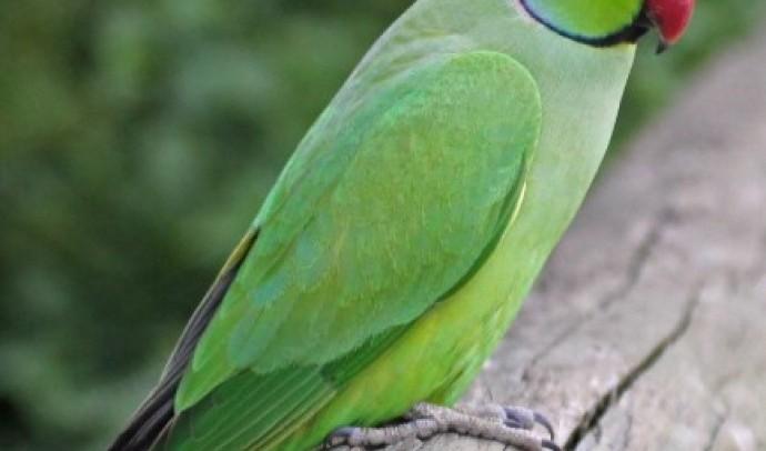 Папуга намистовий Крамера (Psittacula krameri)