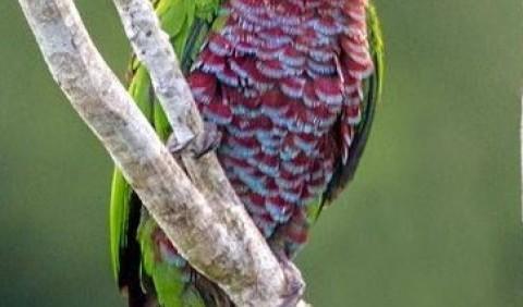 Папуга віяловий (Deroptyus accipitrinus)