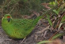 Папуга земляний (Pezoporus wallicus)