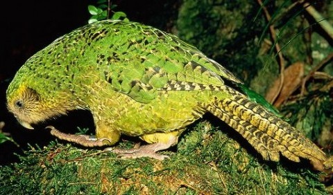 Папуги совині, або какапо (Strigops habroptilus)