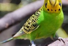 Папужка хвилястий (Melopsittacus undulatus)