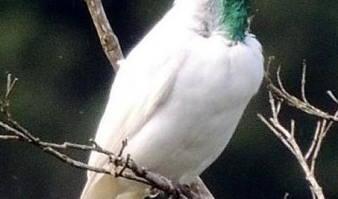 Птах-дзвоник, або гологорлий дзвонар, або арапонга голошия (Procnias nudicollis)