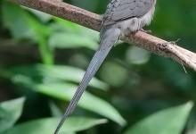 Птахи-миші, або мишанки, або чепігові – родина птахів (Coliidae)