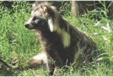 Єнотоподібний собака