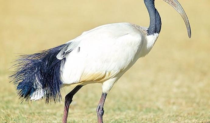 Ібіс священний (Threskiornis aethiopicus)