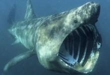 Акула велетенська (Cetorhinus maximus)