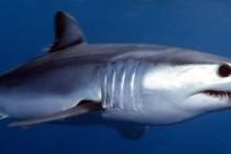 Акула-мако, або чорнокрила акула, або сіро-блакитна оселедцева акула (Isurus oxyrinchus)