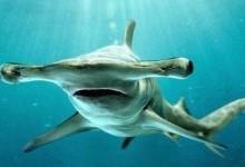 Акула-молот звичайна (Sphyrna zygaena)