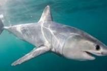 Акула оселедцева звичайна, або атлантична оселедцева, або ламна (Lamna nasus)