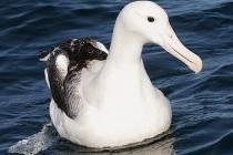 Альбатрос мандрівний (Diomedea exulans)