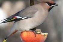 Амадина червоногорла (Amadina fasciata)