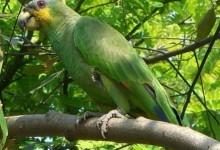 Амазон венесуельський (Amazona amazonica)