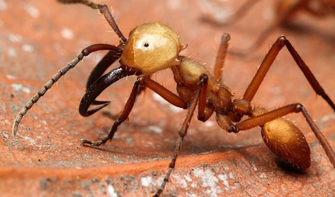 Мурахи, або мурашки – родина комах (Formicidae)