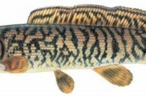 Амія, або мулова риба (Amia calva)