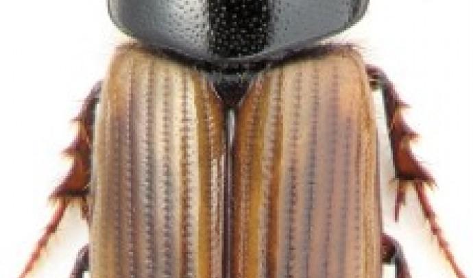 Афодії, або гнойовички (Aphodius)