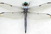 Бабки – ряд комах (Odonata)