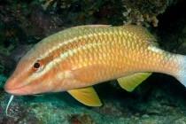 Барабулеві, або султанкові – родина риб (Mullidae)