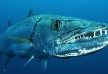 Баракуда велика (Sphyraena barracuda)