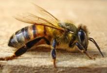 Бджола медоносна (Apis mellifera)
