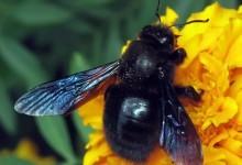 Бджола-тесляр