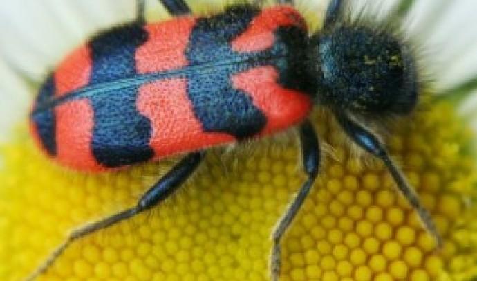 Бджоложук звичайний, або пістряк бджолиний (Trichodes apiarius)