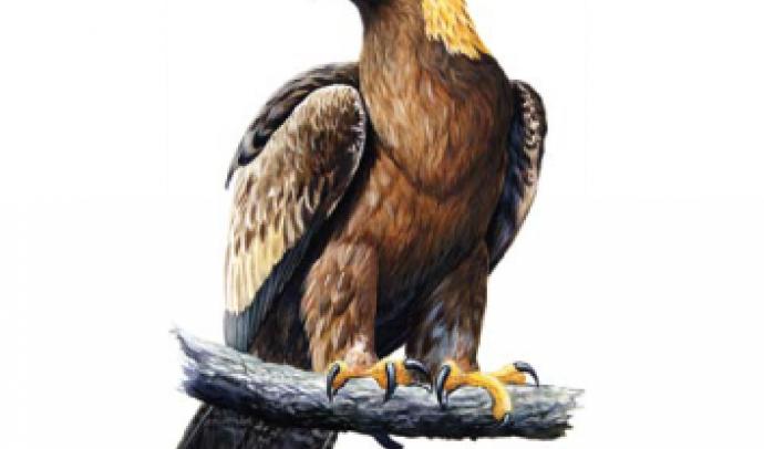 Беркут (птах)