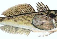 Бичок-пісочник, або бичок-бабка (Neogobius fluviatilis)