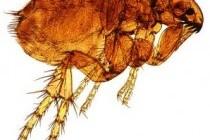Блохи (Siphonaptera)