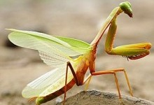 Богомоли (Mantodea)