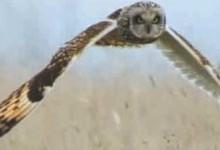 Болотяна сова