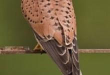 Боривітер звичайний (Falco tinnunculus)