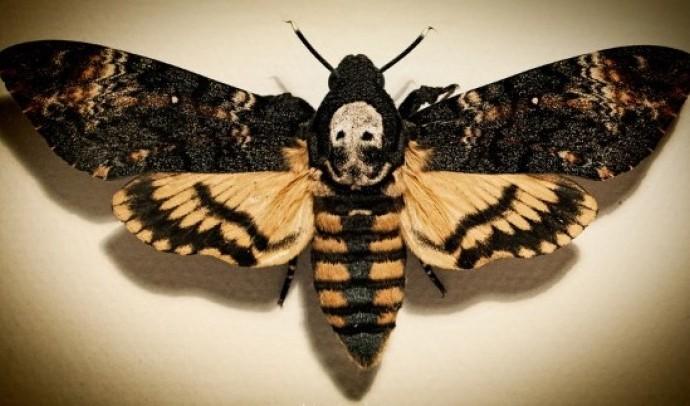 Бражник мертва голова (Acherontia atropos)