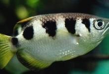 Бризкун смугастий (Toxotes jaculator)