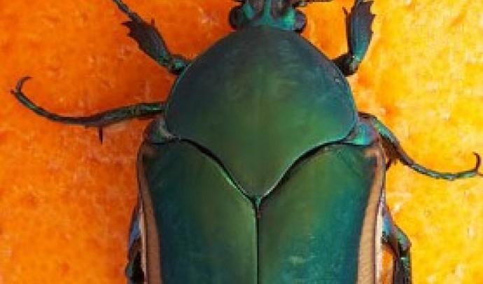 Бронзівки (Cetoniinae)