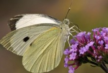 Біланові метелики – родина комах (Ріеrіdіdае)