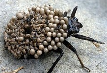 Білостоматиди (Belostomatidae)