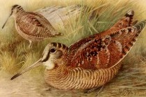 Вальдшнеп (Scolopax rusticola)